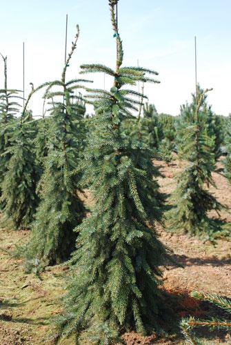 Smrk omorika - vánoční stromeček