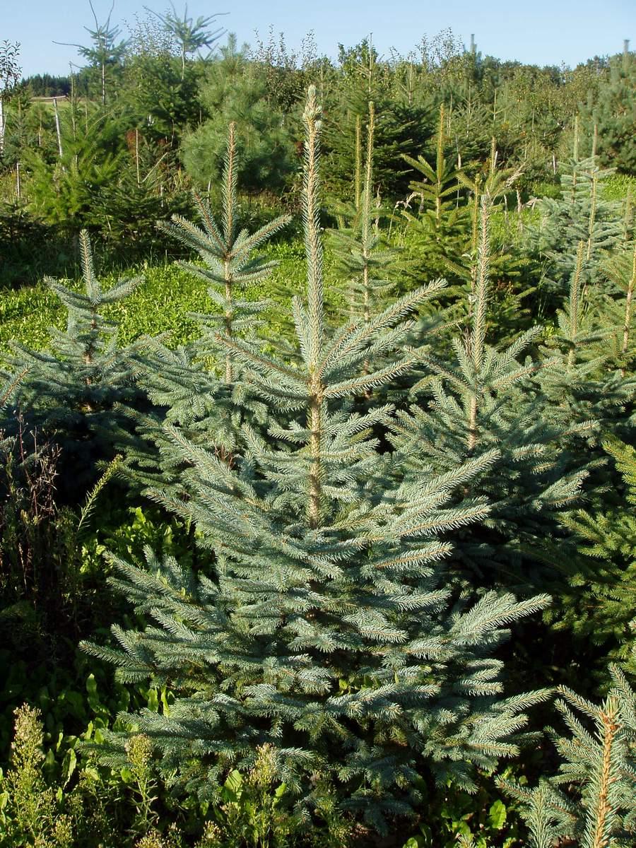smrk pichlavý - vánoční stromeček